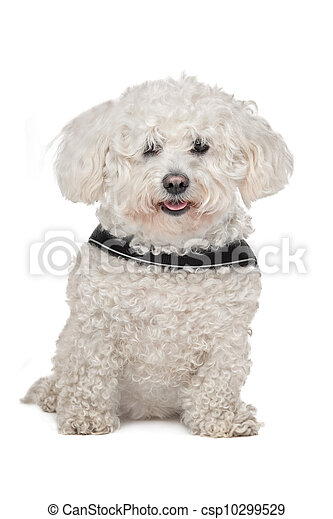 Maltese dog - csp10299529