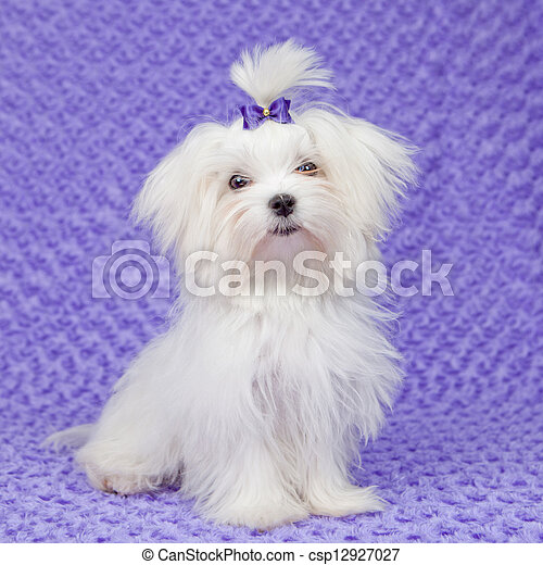 maltese dog - csp12927027