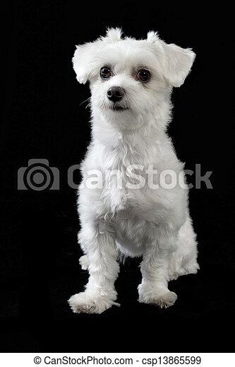 Maltese dog - csp13865599