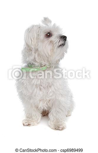Maltese dog - csp6989499