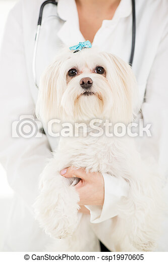 Maltese dog - csp19970605