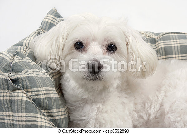 Maltese dog - csp6532890