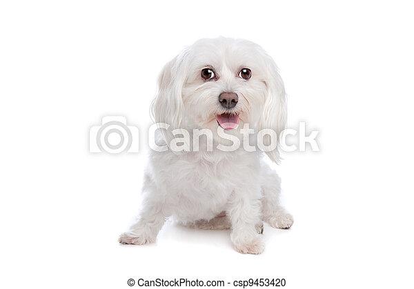 Maltese dog - csp9453420