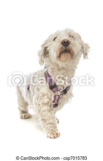 Maltese dog - csp7015783