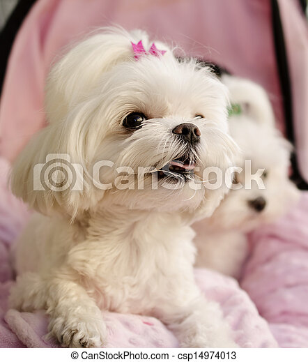 Maltese puppies  - csp14974013