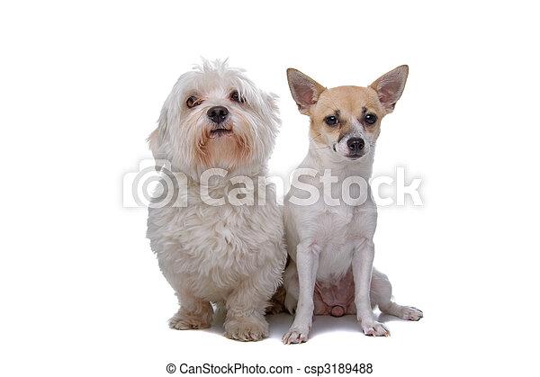 Maltese razza chihuahua mescolato cane chihuahua for Cane razza maltese