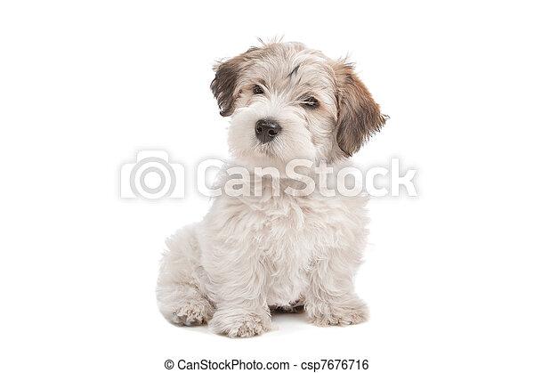maltesisch, mischling, junger hund, hund - csp7676716