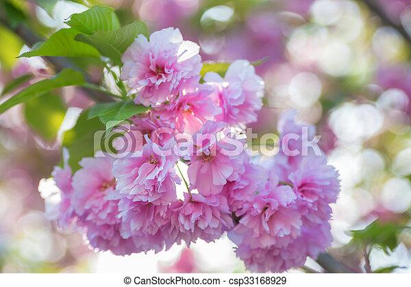 Malus pumila apple tree in small dof malus pumila natural lovely malus pumila apple tree in small dof csp33168929 mightylinksfo
