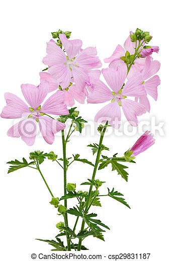 Malva moschata flower pink malva moschata musk mallow flower malva moschata flower csp29831187 mightylinksfo