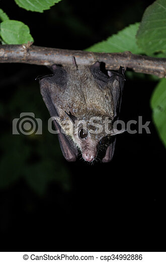 "mammifère, appeler, ""vampire"", chauve-souris - csp34992886"