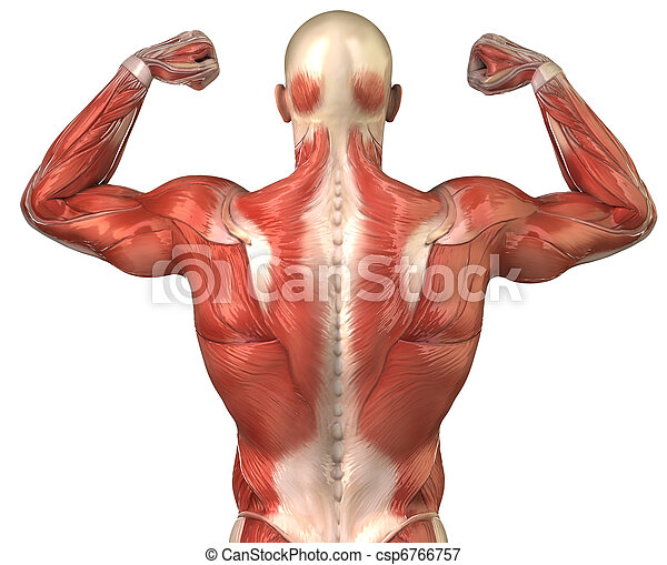 Man back muscular system posterior view in body-builder pose ...