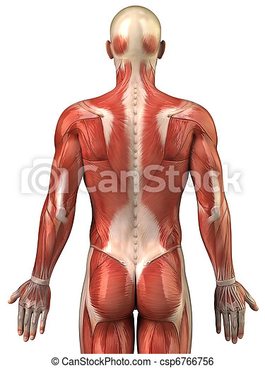 Man Back Muscular System Posterior View Anatomy Of Human Muscles