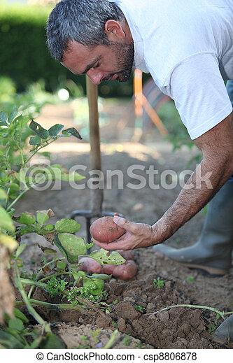 Man digging up potatoes - csp8806878