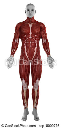 Man muscles anatomy isolated  anterior view - csp18009776