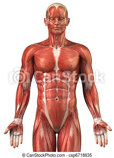 Man muscular system anatomy anterior view - csp6718635