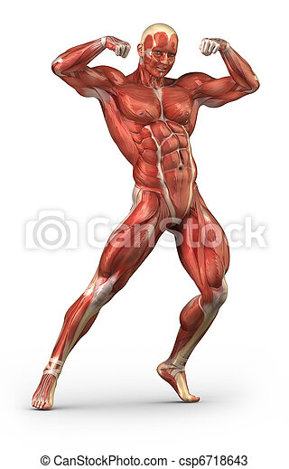 Man Muscular System Anterior View In Body Builder Position Man
