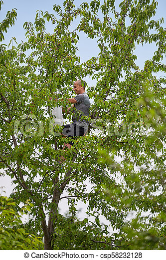 Man picking black wild cherries - csp58232128