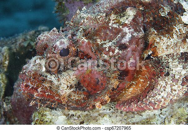 El primer plano de un pez escorpión manchado esperando para emboscar a un pez que pasa - csp67207965