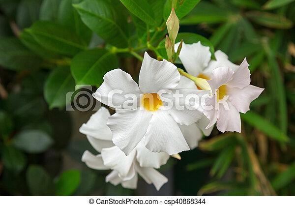 Closeup of mandevilla rocktrumpet flowers with white petals and mandevilla rocktrumpet flowers with white petals and yellow center csp40868344 mightylinksfo