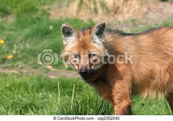 maned wolf - csp2352240