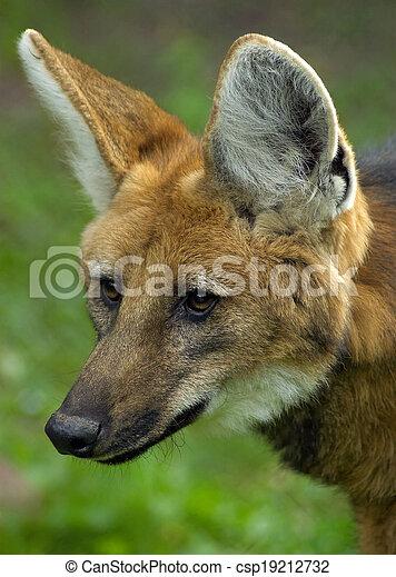 Maned wolf - csp19212732
