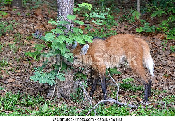 maned wolf - csp20749130