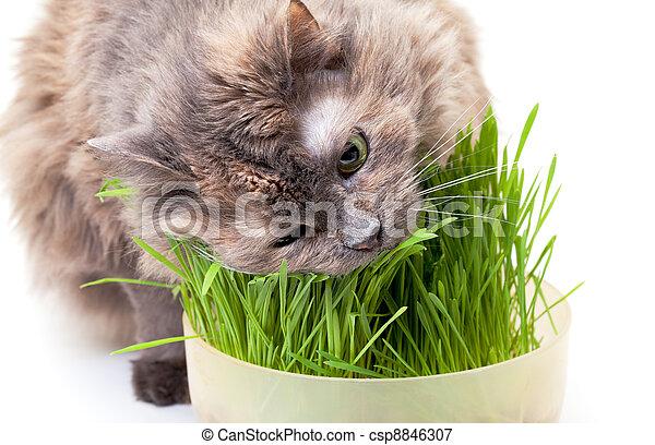 manger, chouchou, chat, herbe, arrière-plan., frais, blanc - csp8846307