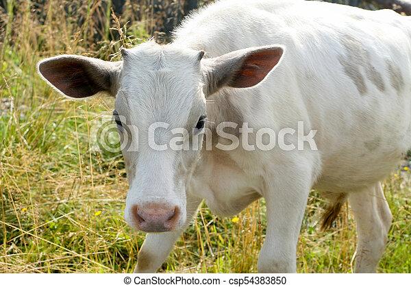 manger, pré, vache, blanc vert, herbe - csp54383850