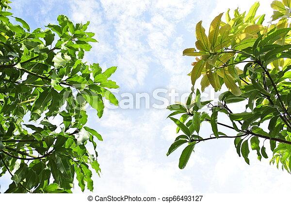 mango leaves against the sky - csp66493127