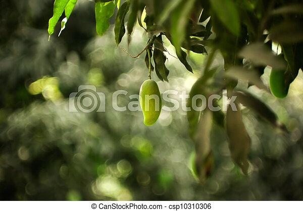 Mango verde - csp10310306