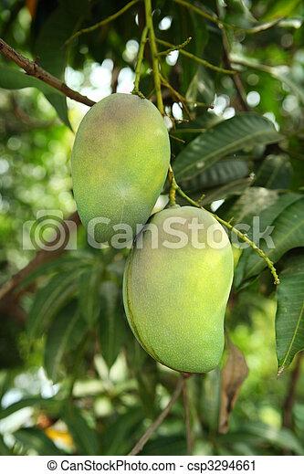 mangoes, baum - csp3294661
