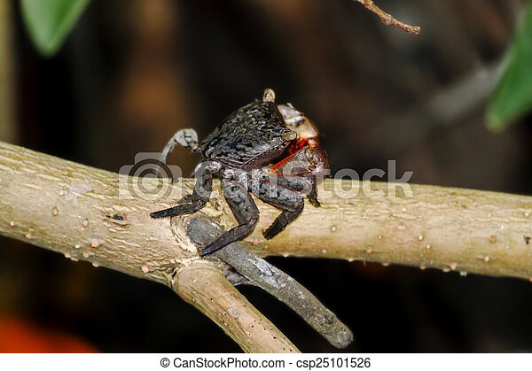 Mangrove Crab on Branch - csp25101526