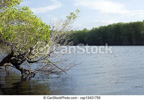 Mangrove Forest - csp13431759