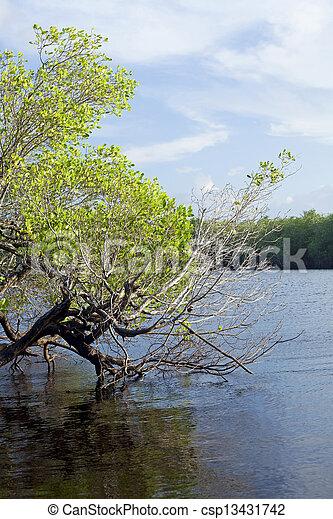 Mangrove Forest - csp13431742