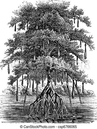 Mangrove or Mangal vintage engraving - csp6766065