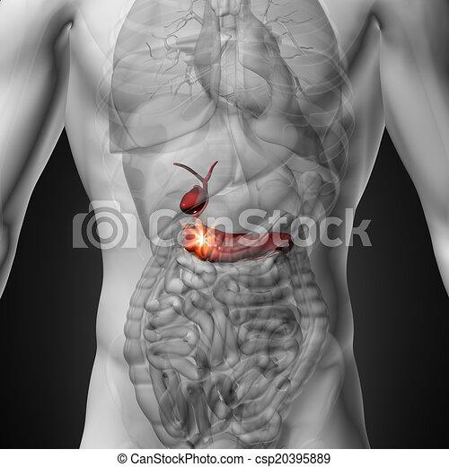 Mann, -, gallenblase, /, bauchspeicheldrüse. Bauchspeicheldrüse ...