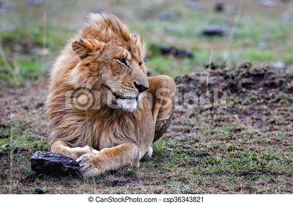 mann, mara., masai, löwe, sonnenuntergang, gras, liegen - csp36343821