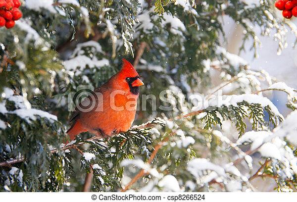 mannelijke , winter., noordelijk, cadinal - csp8266524