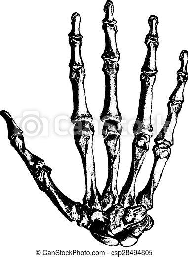 Mano, vendimia, huesos, engraving. Illustration., mano,... clipart ...