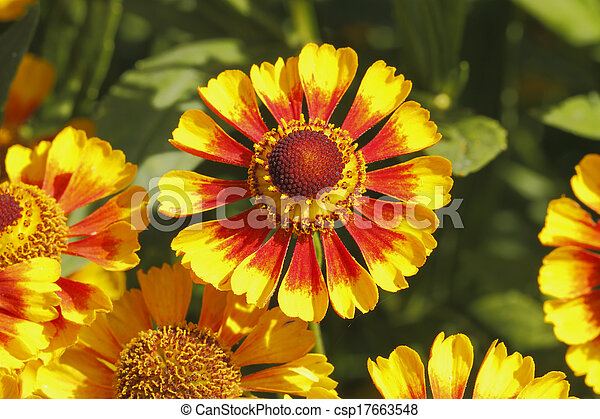 Flores de manta (Gaillardia aristata) - csp17663548