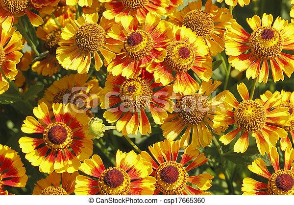 Flores de manta (Gaillardia aristata) - csp17665360