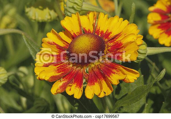 Flores de manta (Gaillardia aristata) - csp17699567