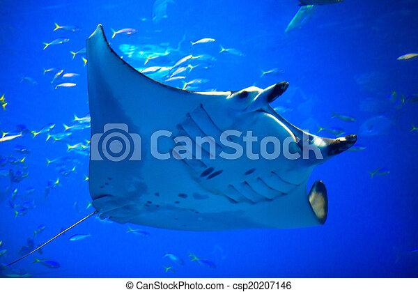 Manta ray - csp20207146