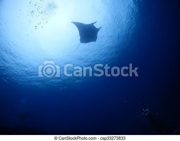 Manta ray - csp33273833
