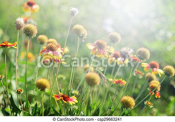 Gaillardia o flores en un día soleado - csp29663241