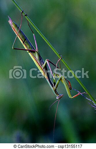Mantodea Close Up Praying Mantis Mantodea Close Up Of Wild Side