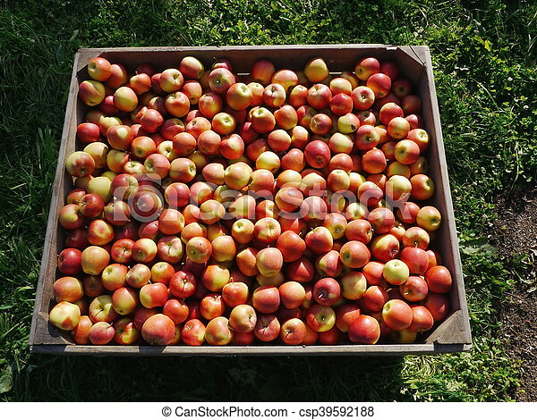 many apples in wooden boxes - csp39592188