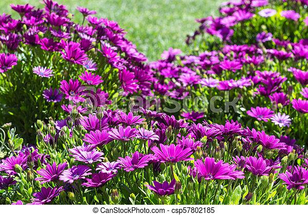 many Bellis flowers on meadow in spring - csp57802185