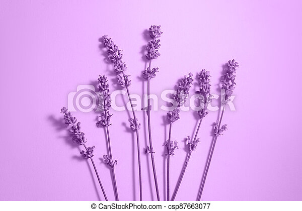 Many lavender flowers on the purple background. - csp87663077