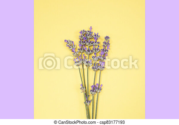 Many lavender flowers on the yellow and purple background. - csp83177193